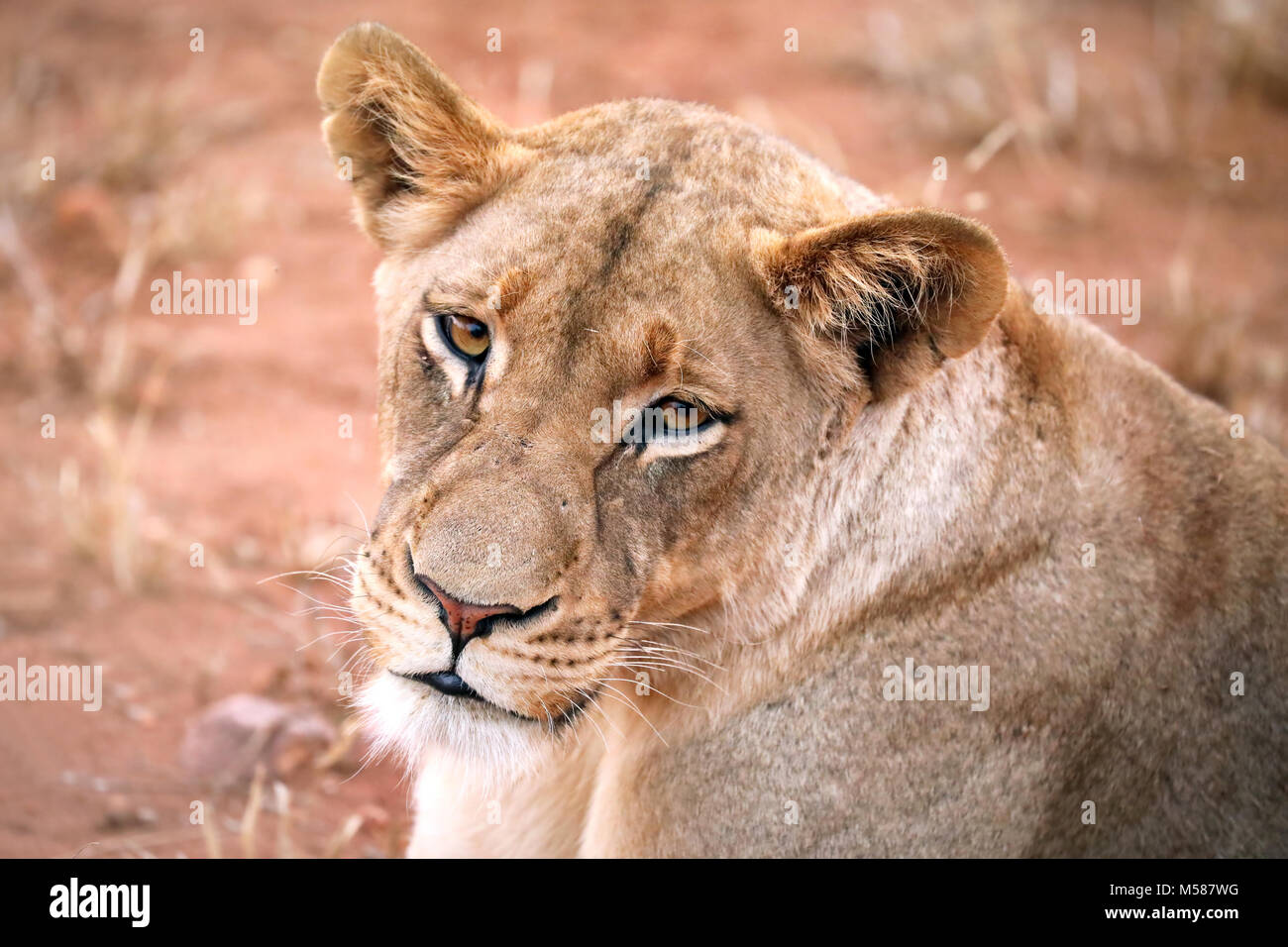 Lioness, Kruger NP, South Africa Stock Photo