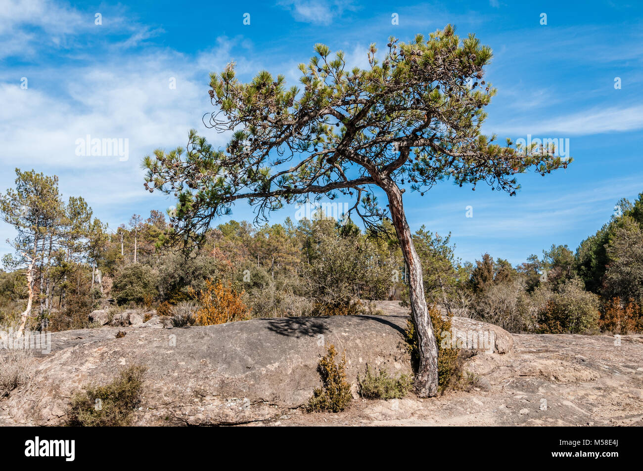 pine on a rocky terrain, Pinus halepensis, Catalonia, Spain - Stock Image