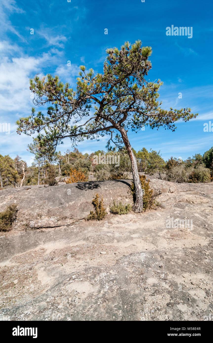 pine on a rocky terrain, Pinus halepensis, Catalonia, Spain - Stock Image