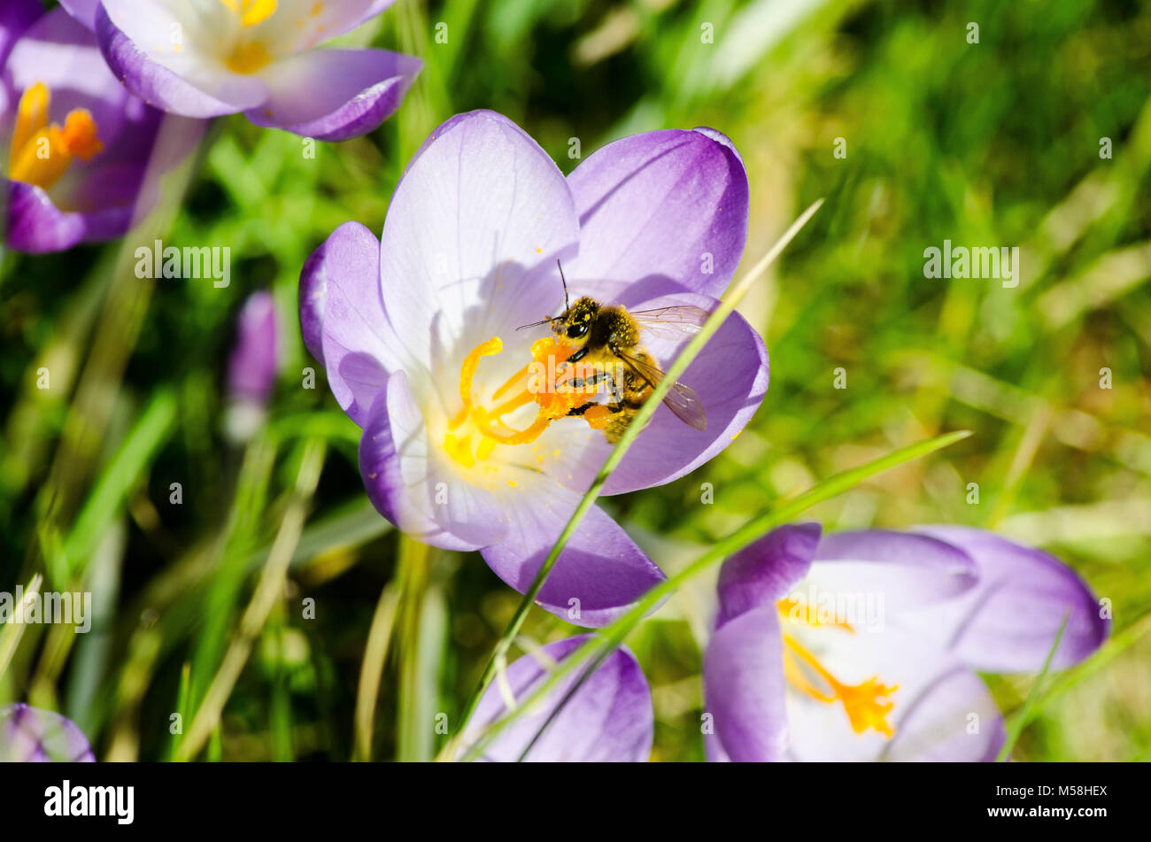 Beauty and the Bee. Close up of a Honey bee and some purple crocuses. - Stock Image