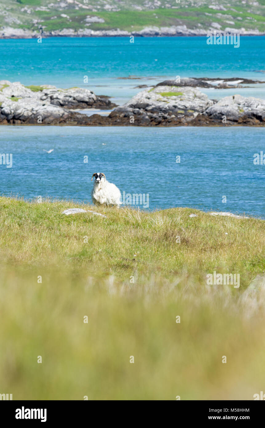 Single sheep in the rugged coastal landscape of the Isle of South Uist, Outer Hebrides, Scotland, UK Stock Photo