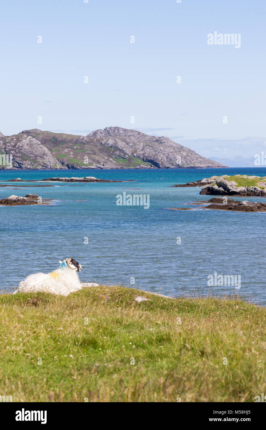 Single sheep in the rugged coastal landscape of the Isle of South Uist, Outer Hebrides, Scotland, UK - Stock Image