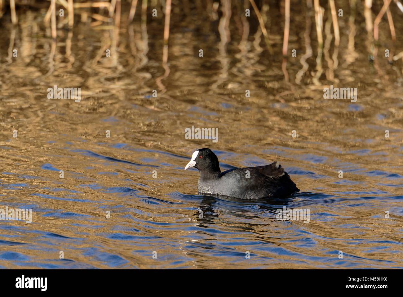 Coot waterfowl bird. - Stock Image