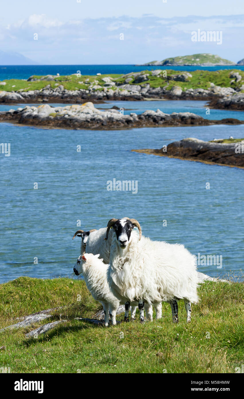 Small group of sheep in the rugged coastal landscape of the Isle of South Uist, Outer Hebrides, Scotland, UK - Stock Image