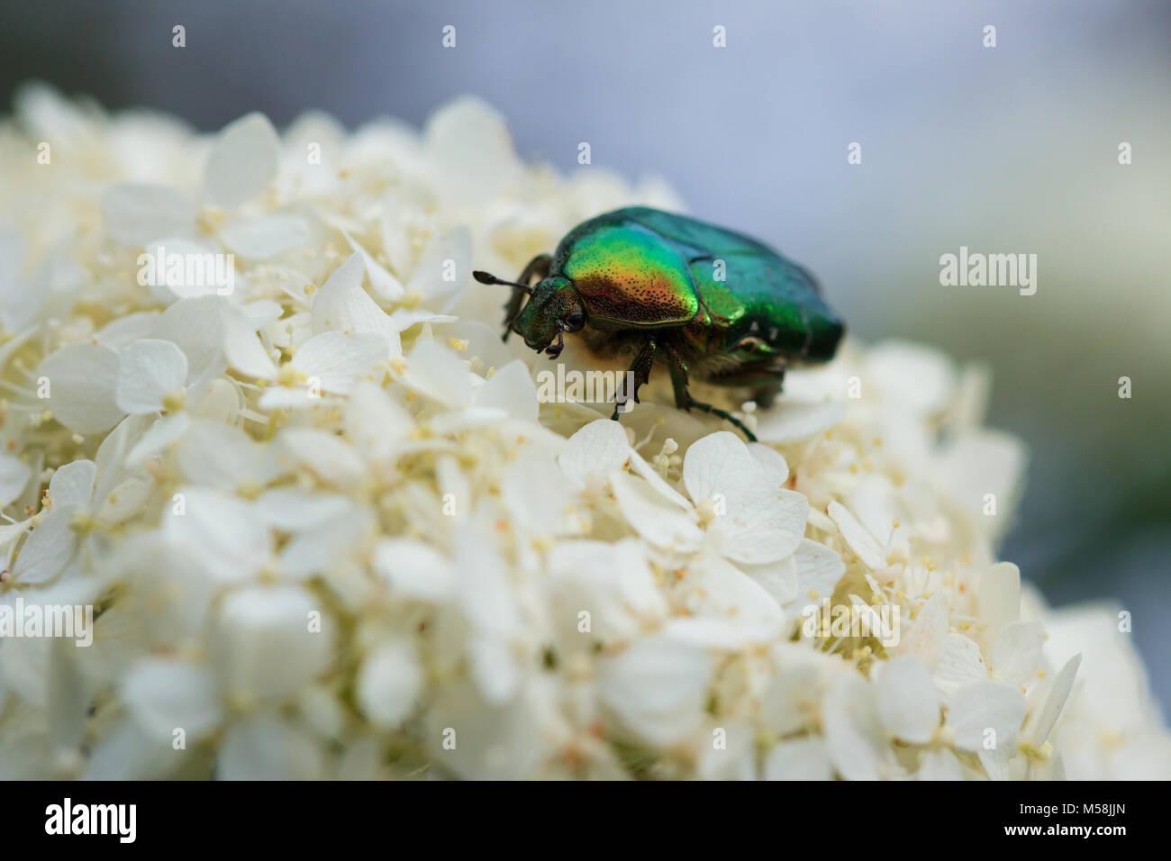 protaetia aeruginosa beetle on a flower Stock Photo