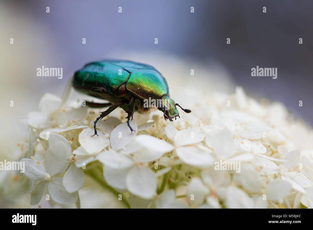 protaetia aeruginosa beetle on a flower Stock Photo