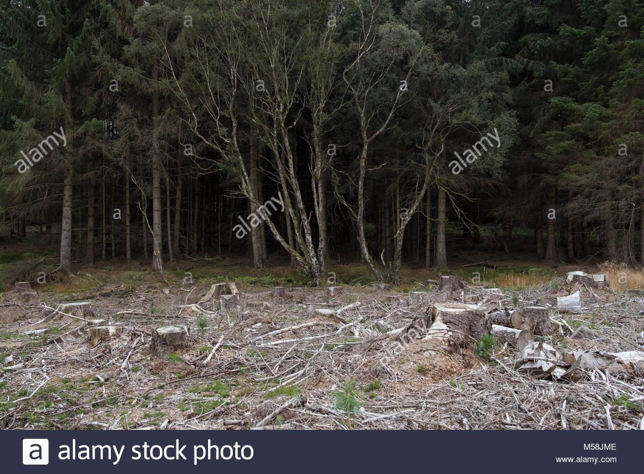 Deforestation in Northumberland - Stock Image