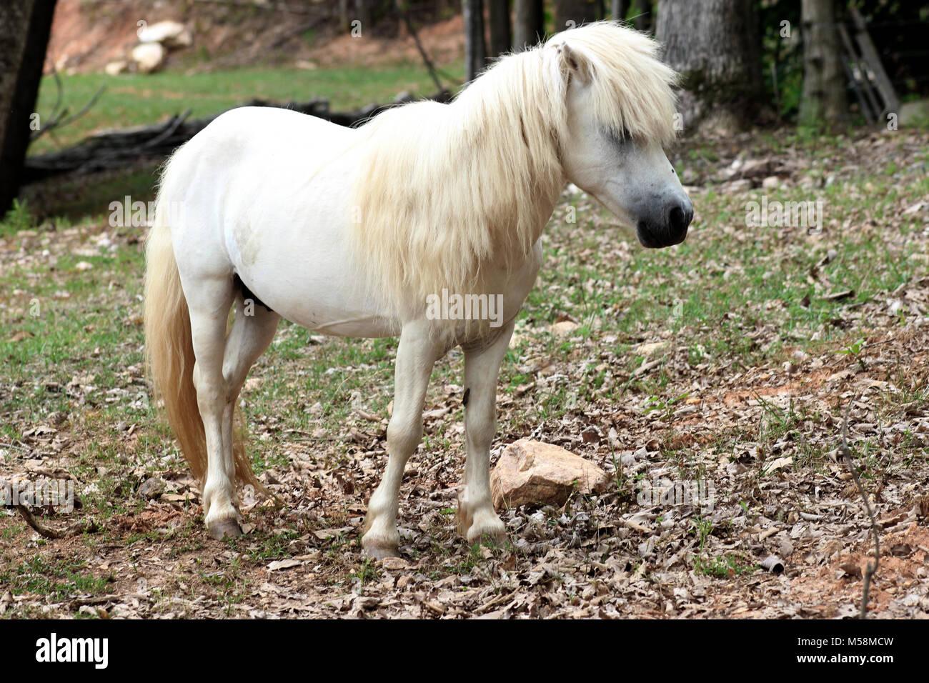 Cute white pony - Stock Image
