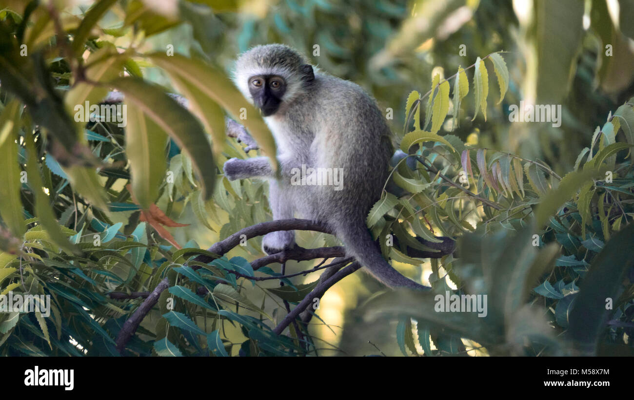 cute little monkey sitting on a branch of mango tree - Stock Image