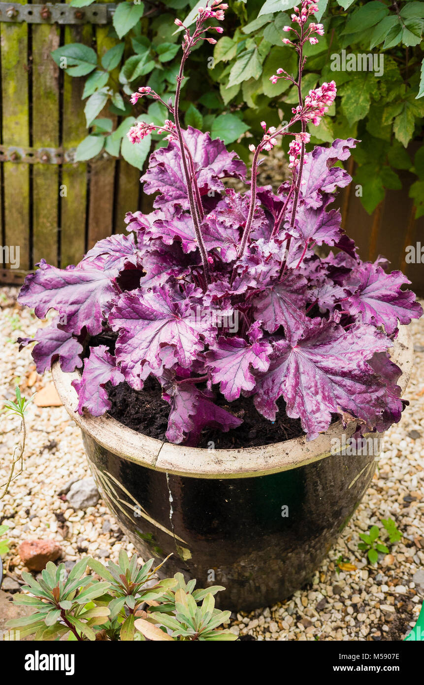 Attractive purple foliage of Heuchera Forever Purple in early autumn in UK - Stock Image