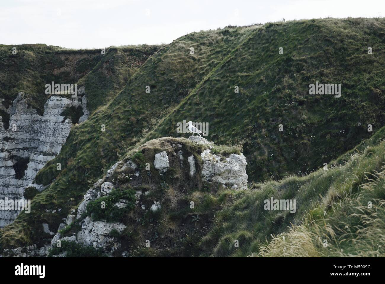 Seagull standing on top of a grassy cliff, with etretat white chalk cliffs in the bakground - Stock Image