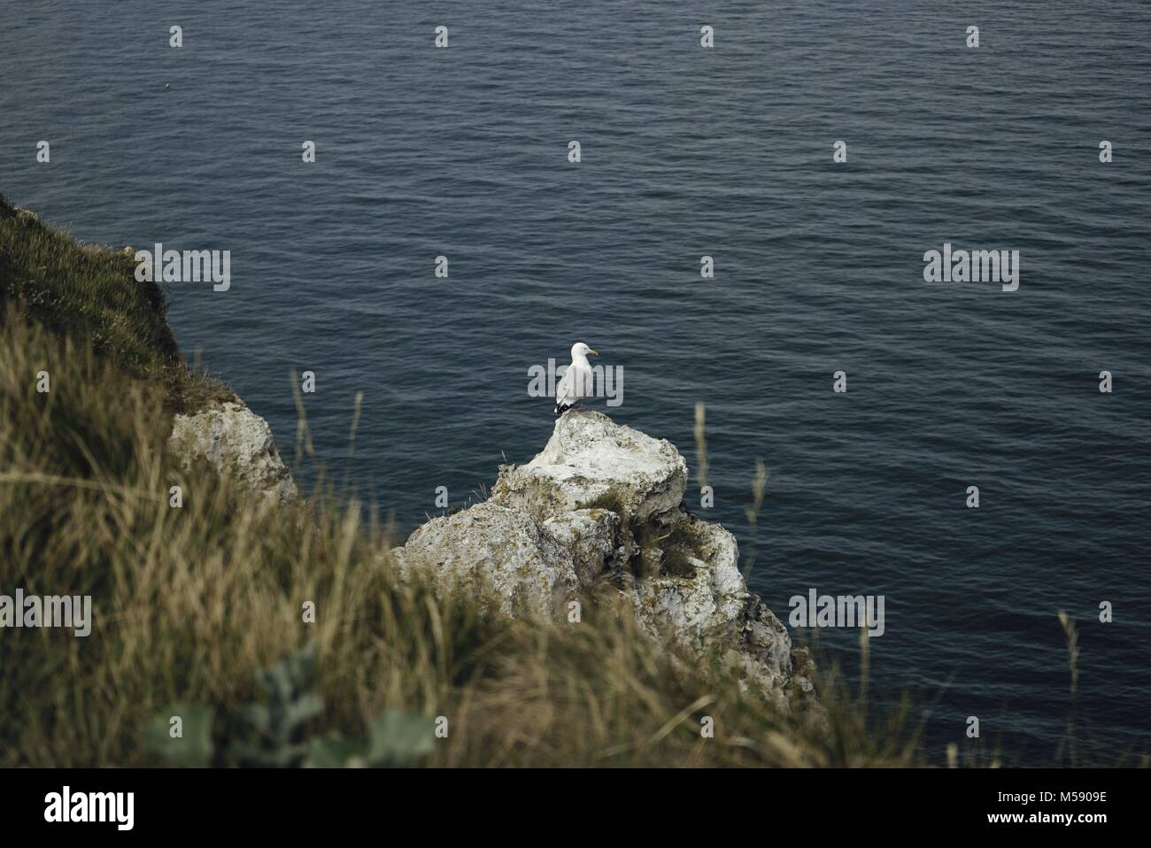 Seagull standing on a rock on top a cliff, with ocean in the background and grass in the foreground - Stock Image