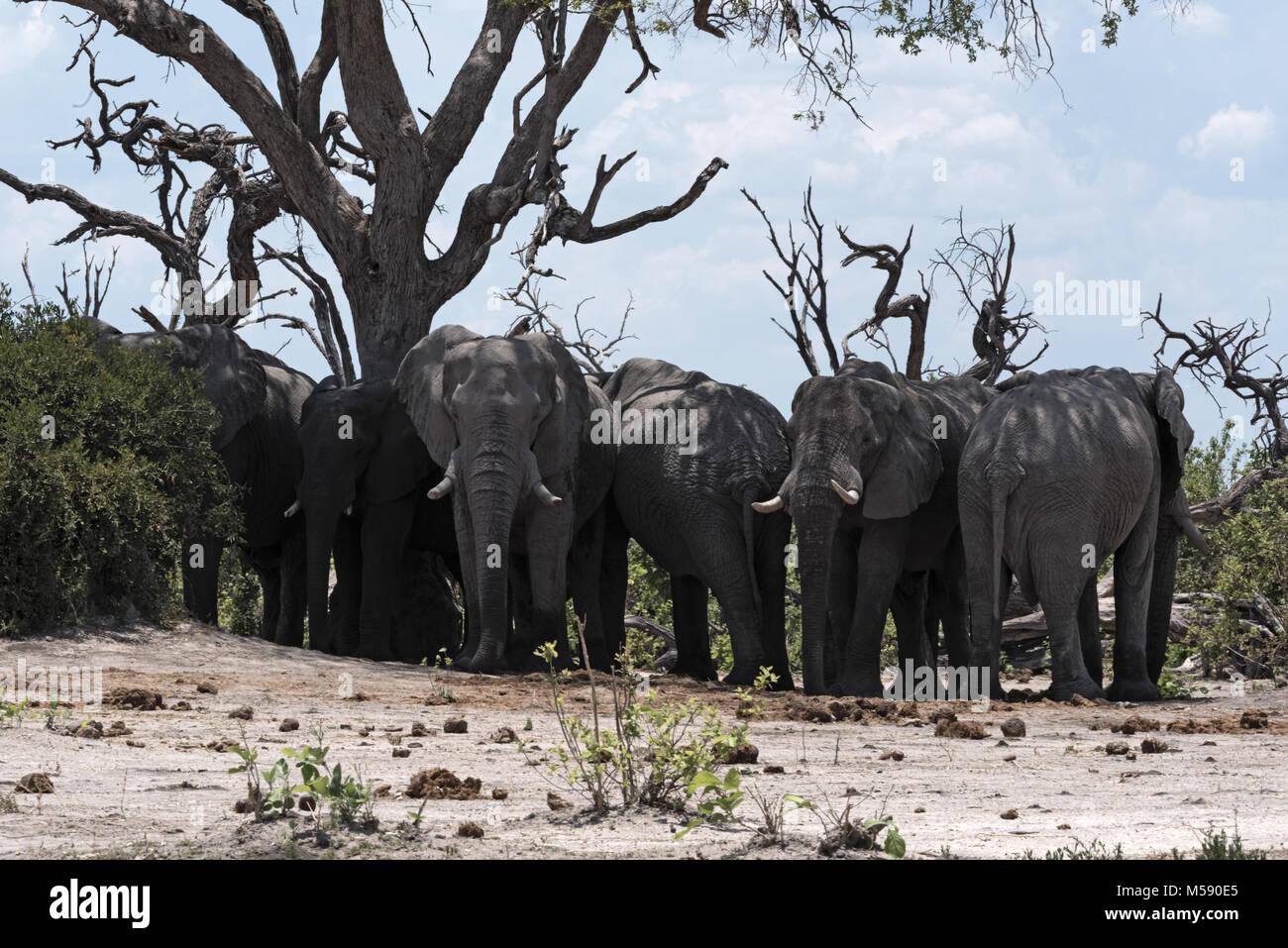 Elephants herd under a tree group in Chobe National Park, Botswana - Stock Image