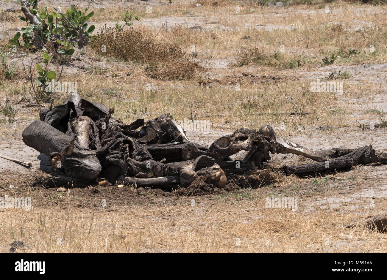 The mortal remains of an elephant in Chobe National Park, Botswana - Stock Image