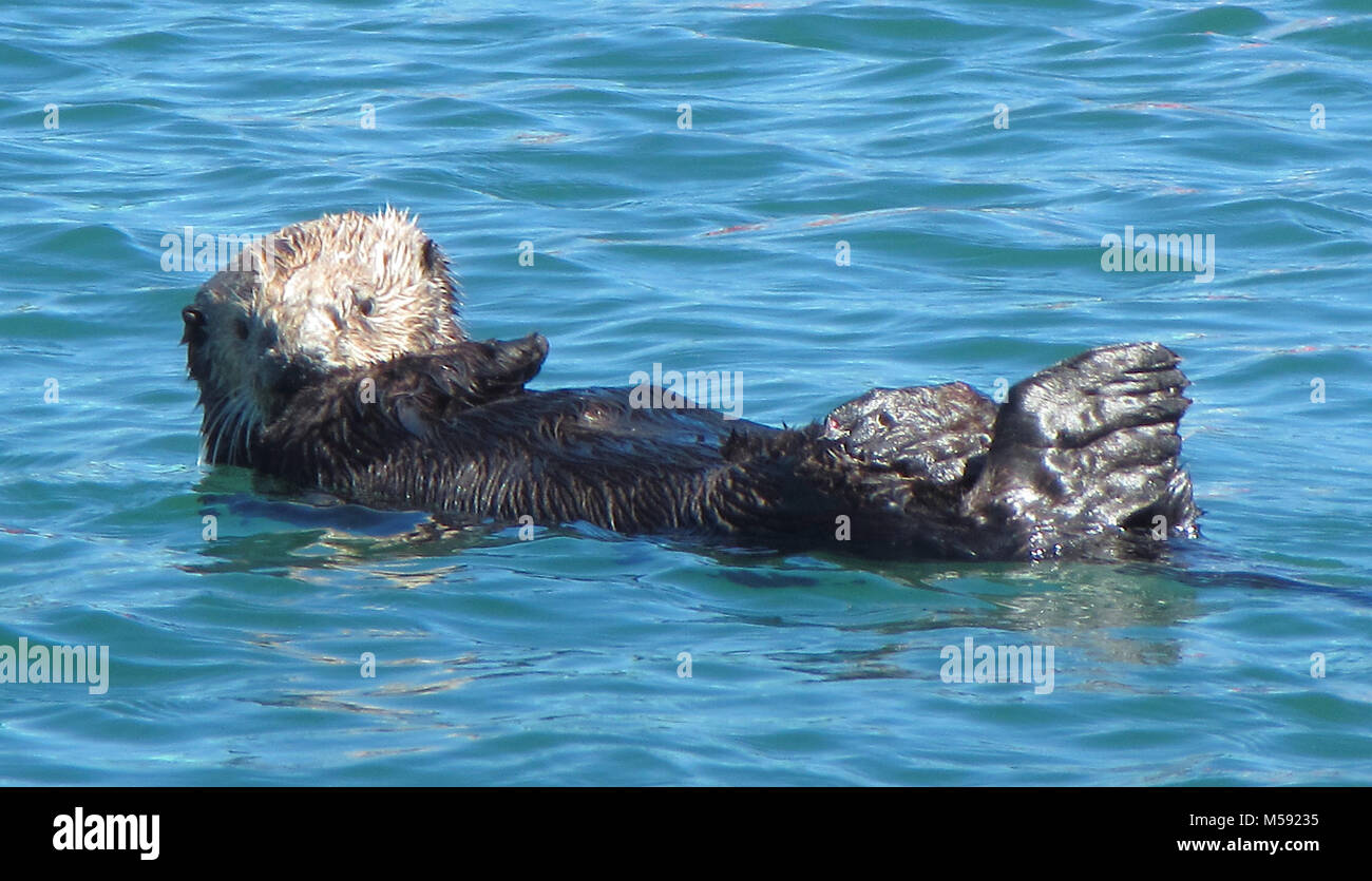 Otter at Moss Landing on the California Coast - Stock Image