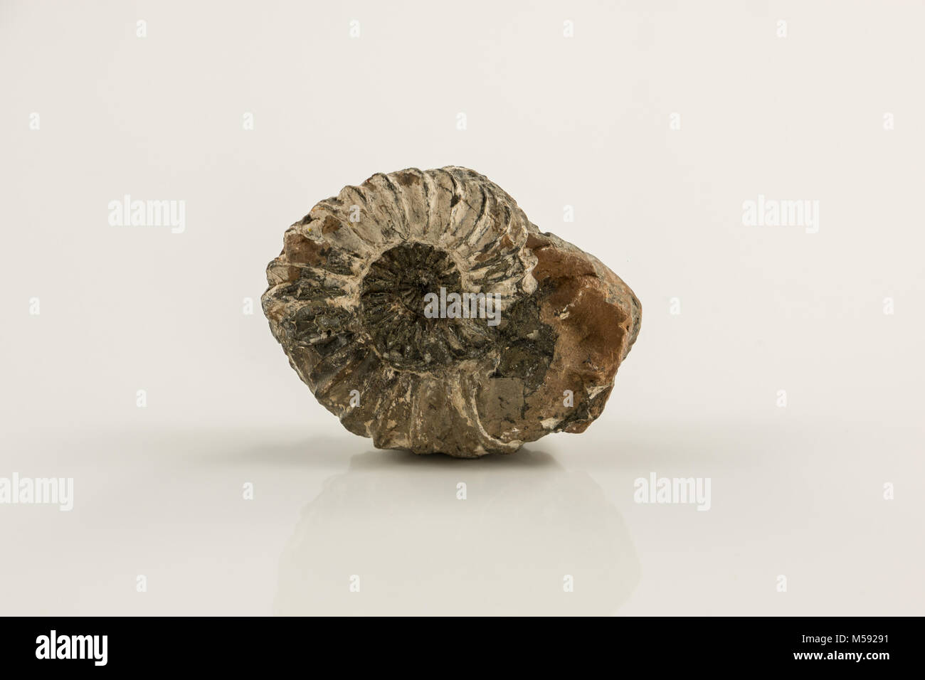 Old fossil snail and white background - Stock Image