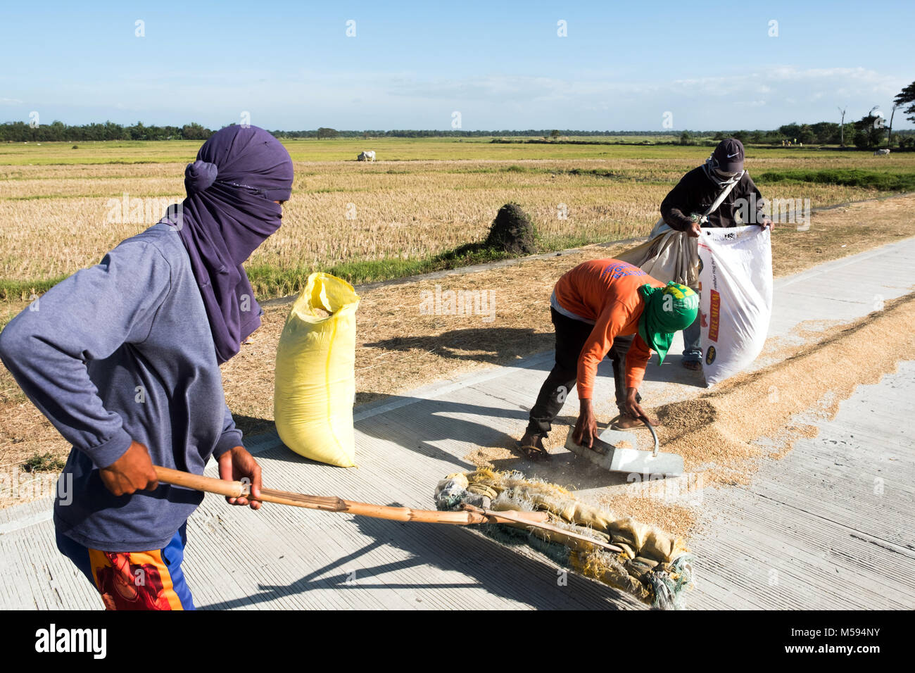 Rice is laid out to dry on the roadside and then swept up and packed in sacks. Luzon, The Philippines Stock Photo