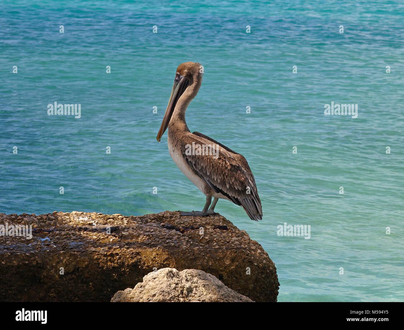 Brown pelican at Bonaire Stock Photo