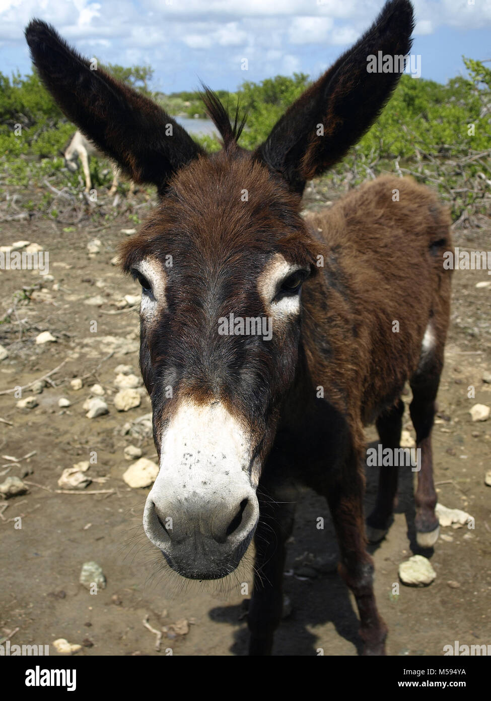 naughty wild donkey inspect the car Stock Photo