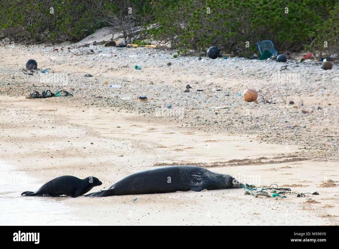 Hawaiian Monk Seal (Neomonachus schauinslandi) mother and  baby on North Pacific island with marine debris including - Stock Image