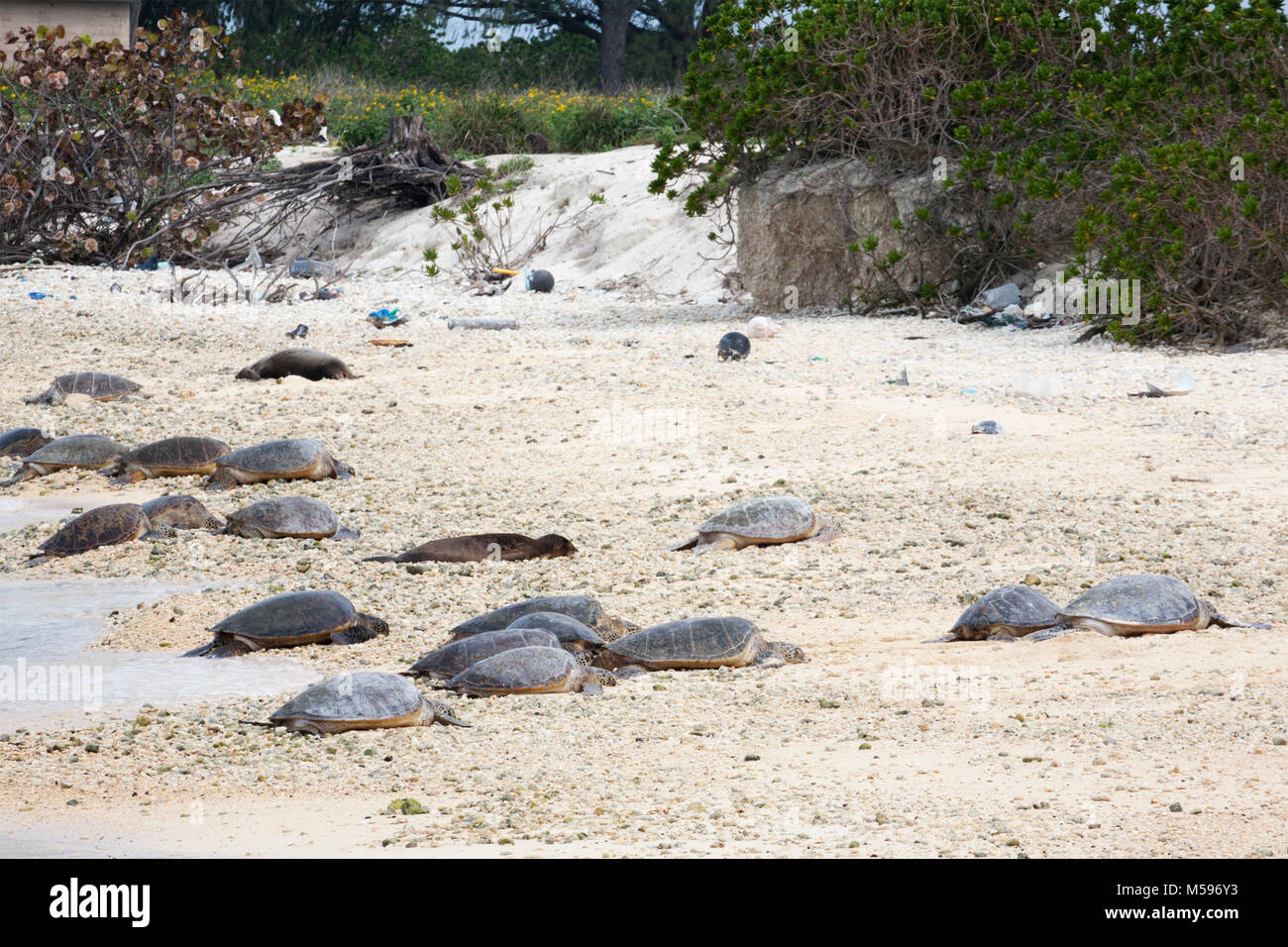 Sea Turtles (Chelonia mynas) and Hawaiian Monk Seals (Neomonachus schauinslandi) basking on a North Pacific island - Stock Image