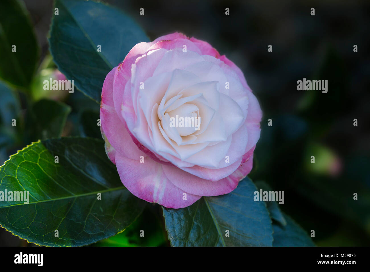 Camellia Japonica Desire in flower. - Stock Image