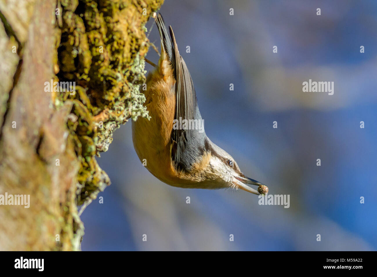 UK wildlife: Known for caching food, this beautiful nuthatch (Sitta europaea) has just found a nut or seed in the - Stock Image