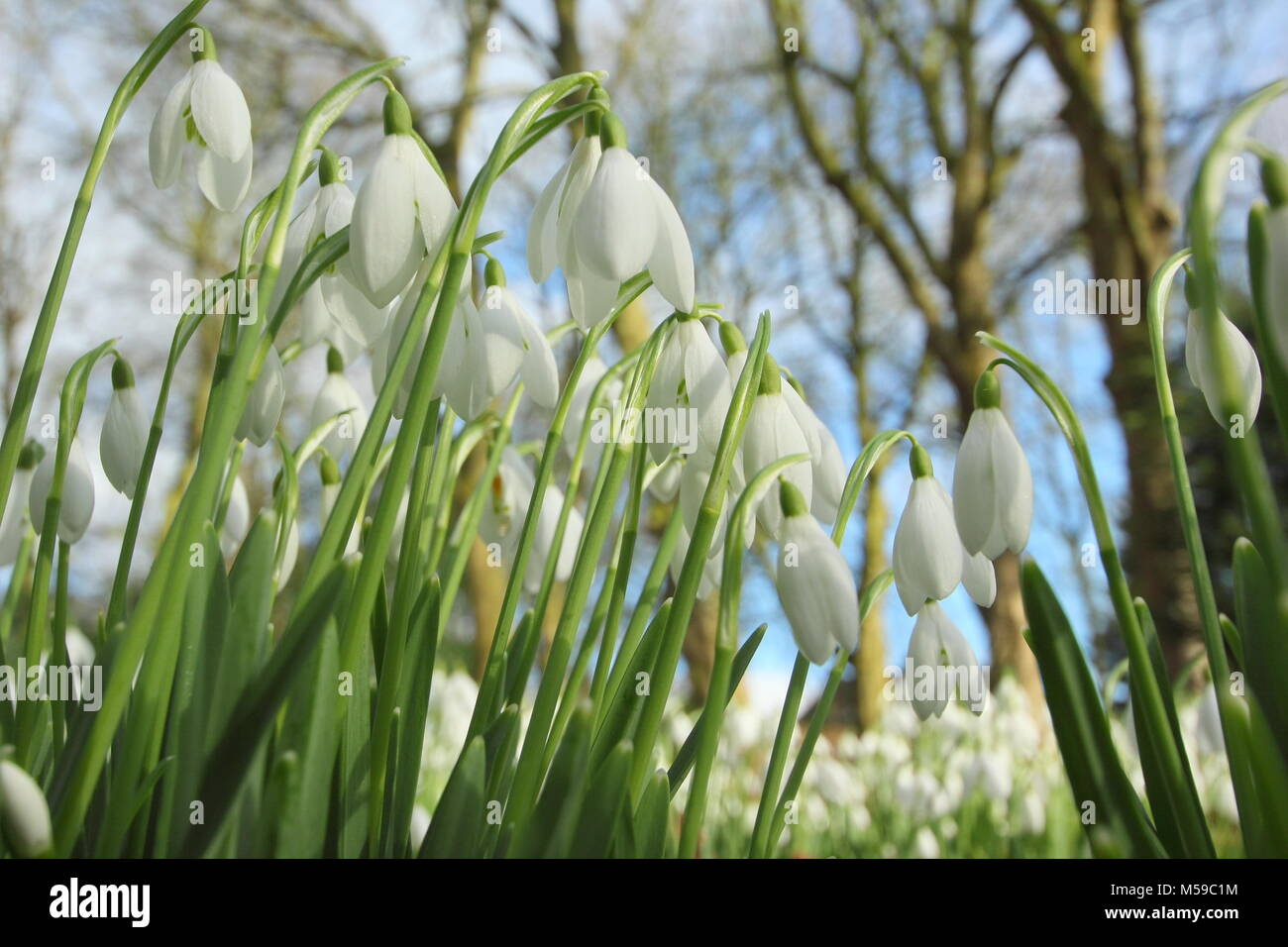 Snowdrops (galanthus nivalis) in the woodland garden at Hopton Hall, Derbyshire during the annual open garden event - Stock Image