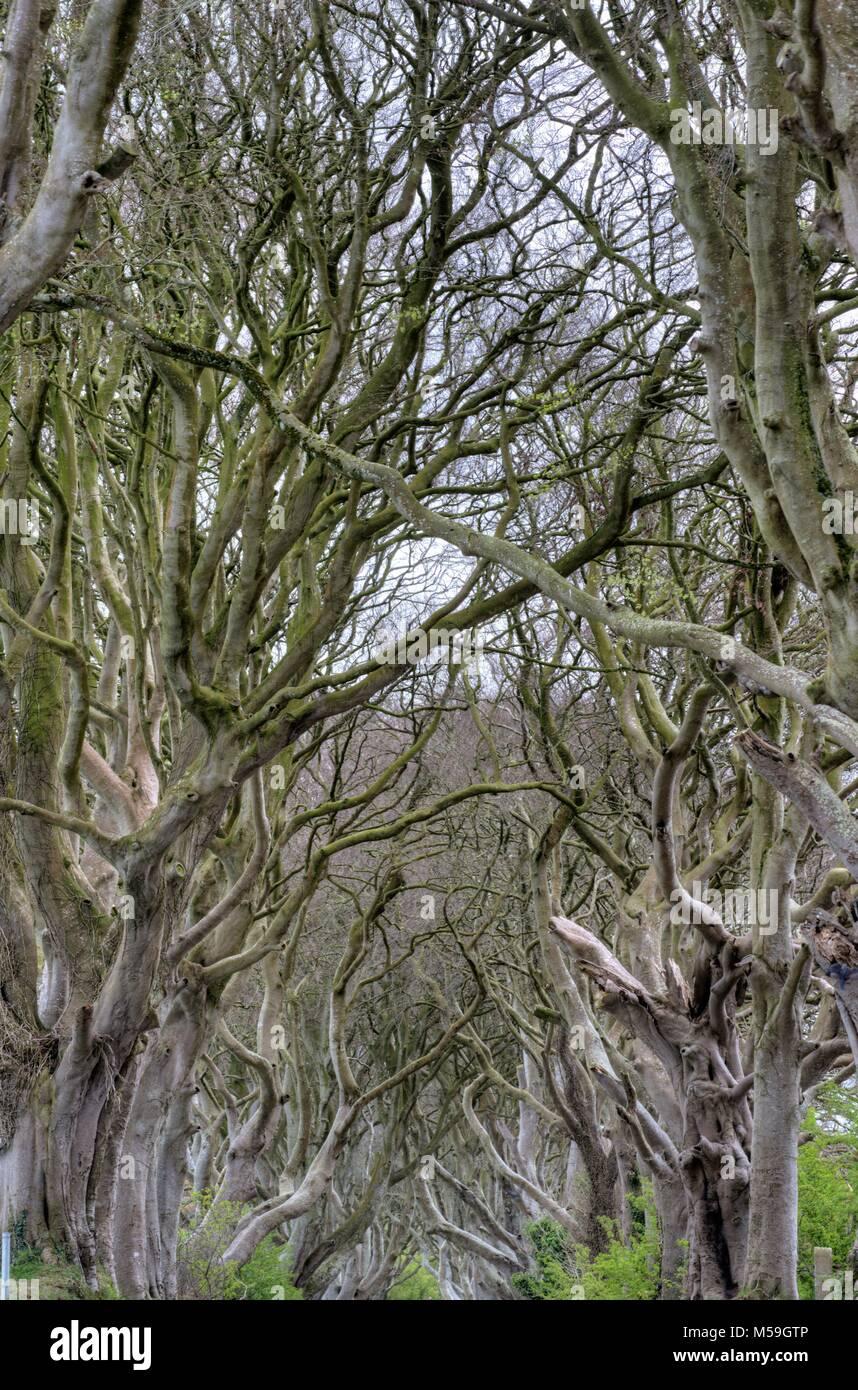 Dark Hedges, Northern Ireland, GB - Stock Image