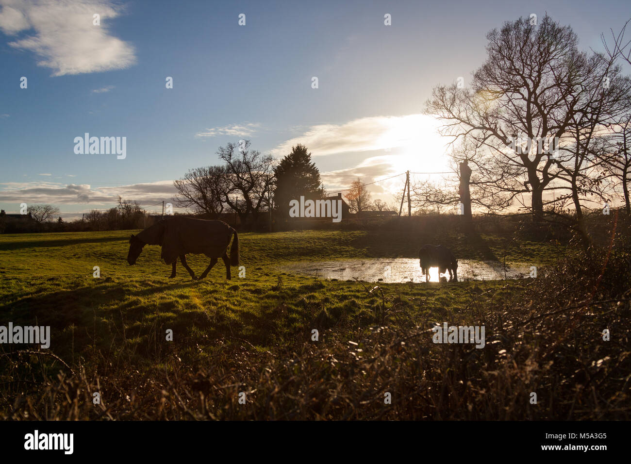 Village of Coddington, England. Silhouetted view of horses grazing in the Cheshire village of Coddington. - Stock Image