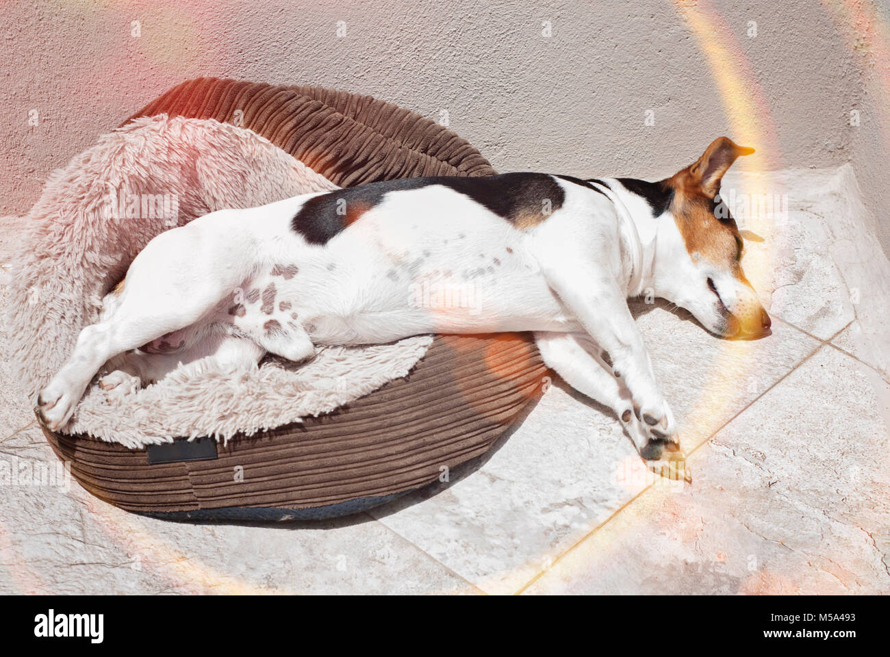 Jack russell terrier dog sleeping in the sun on the balcony, Dog's heatstroke protection concept, sunbeams effect - Stock Image