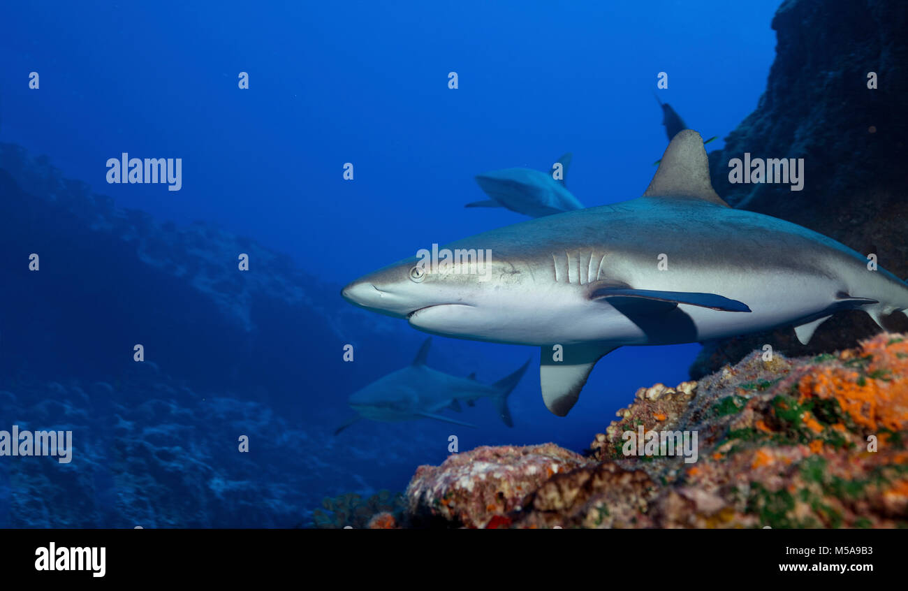 Gray reef sharks in the warm waters above a coral reef. Stock Photo