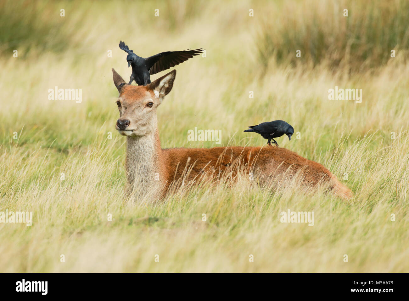 Rothirsch Kuh und Dohlen,  Cervus elaphus Stock Photo