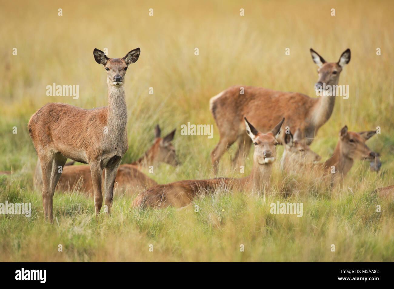 Rothirsch Kuh,  Cervus elaphus Stock Photo