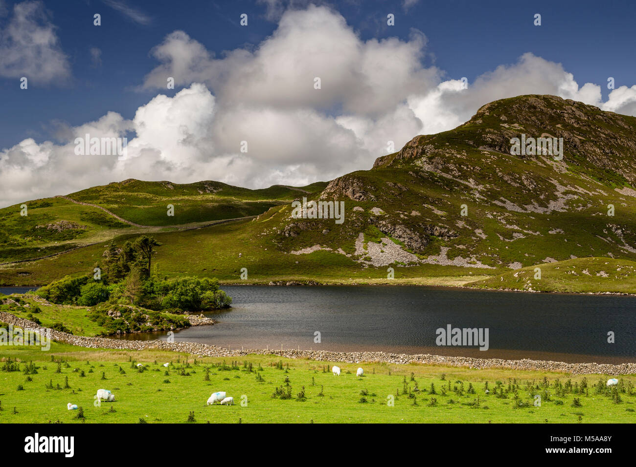 Field of thistles and sheep at Cregennan Lakes, Snowdonia, Wales on a sunny day Stock Photo