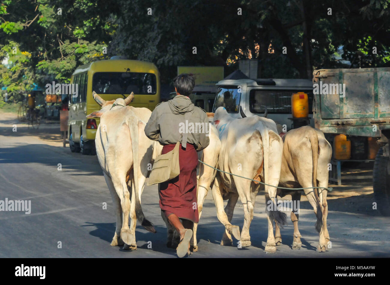 Cows in a city in Myanmar Burma on an asphalt road and vehicles in the background with a shepherd following in traditional - Stock Image