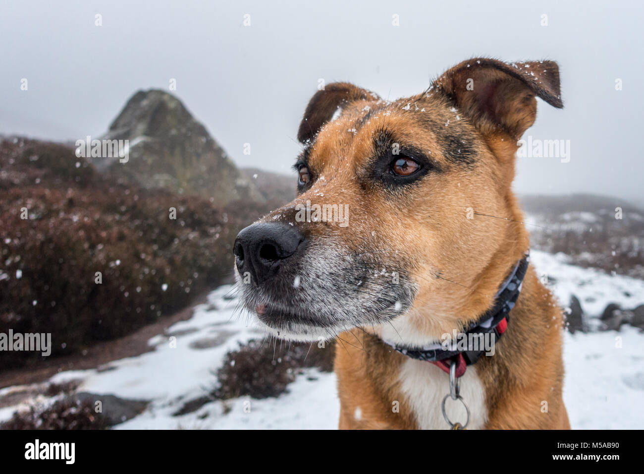 Portraits of a staffie cross dog with snowflakes on its face outside while its snowing - Stock Image
