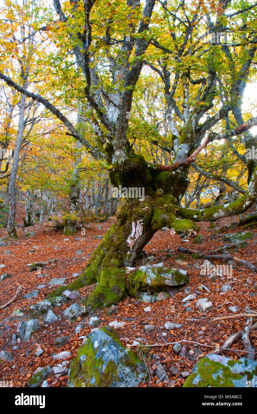 Old beech tree. Hayedo de la Pedrosa, Segovia province, Castilla Leon, Spain. - Stock Image