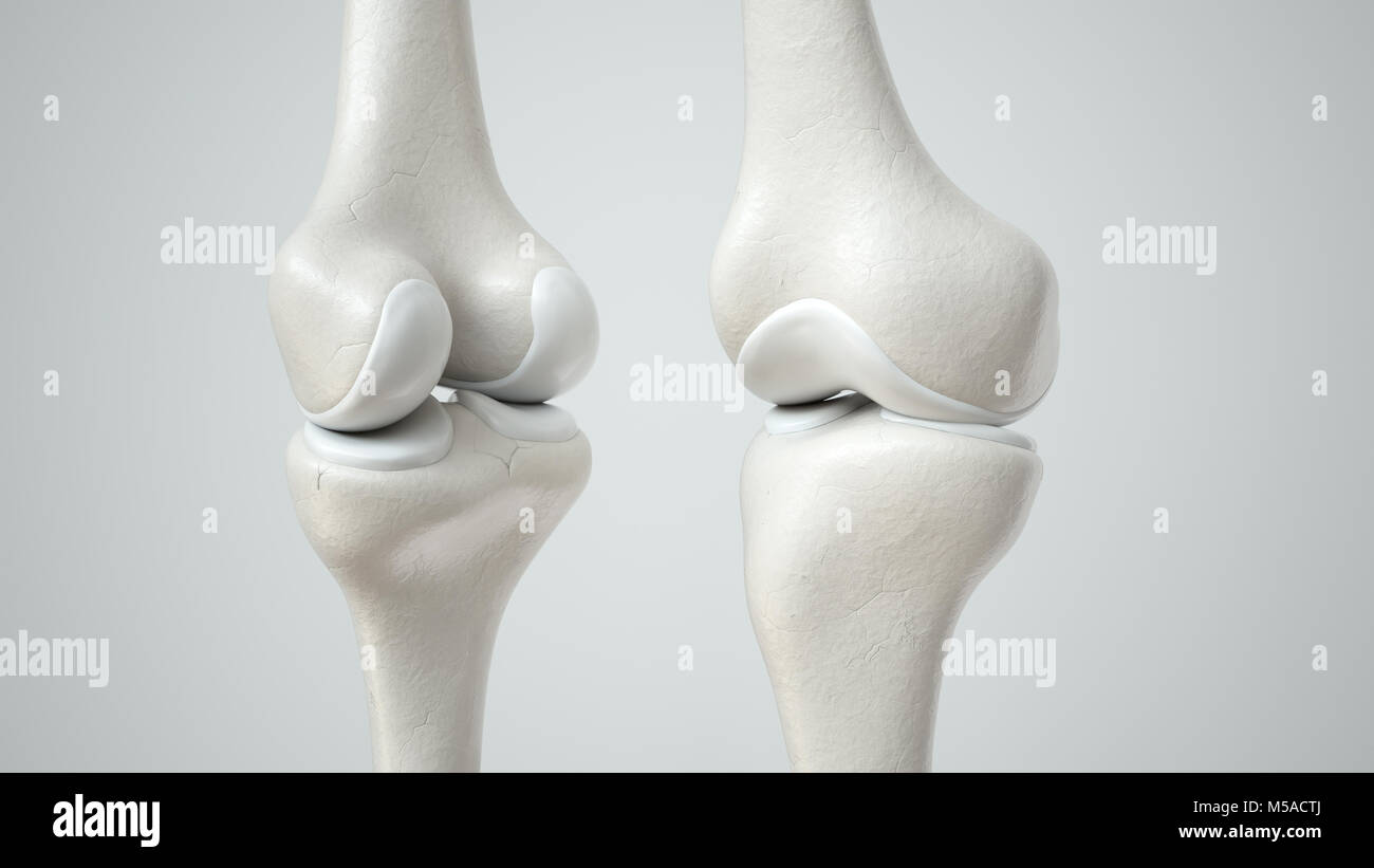 Knee joint with healthy cartilage, front and back- 3D Rendering - Stock Image