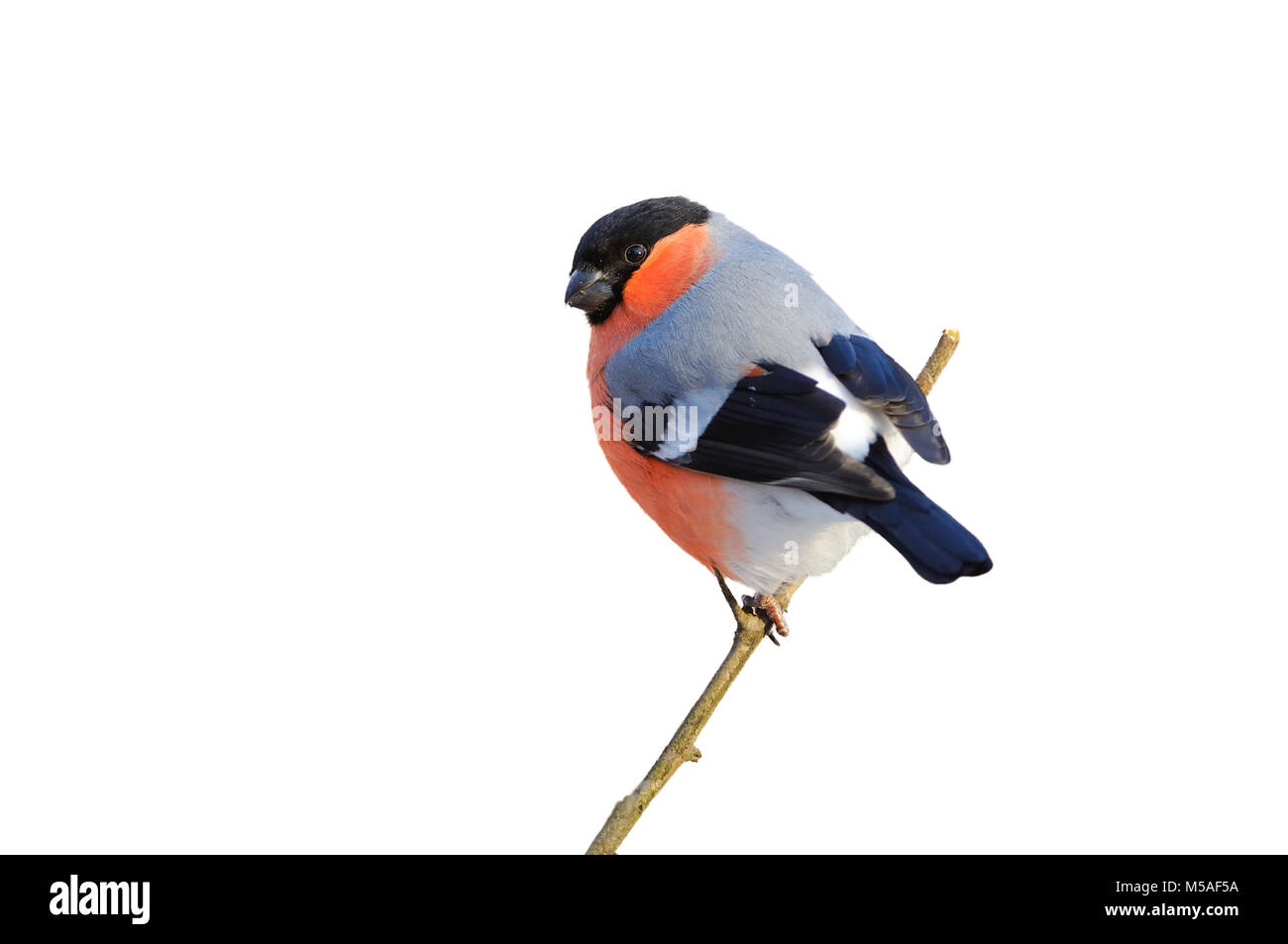 Eurasian (common) bullfinch (Pyrrhula pyrrhula) sitting on a branch (isolated on a white background). Stock Photo