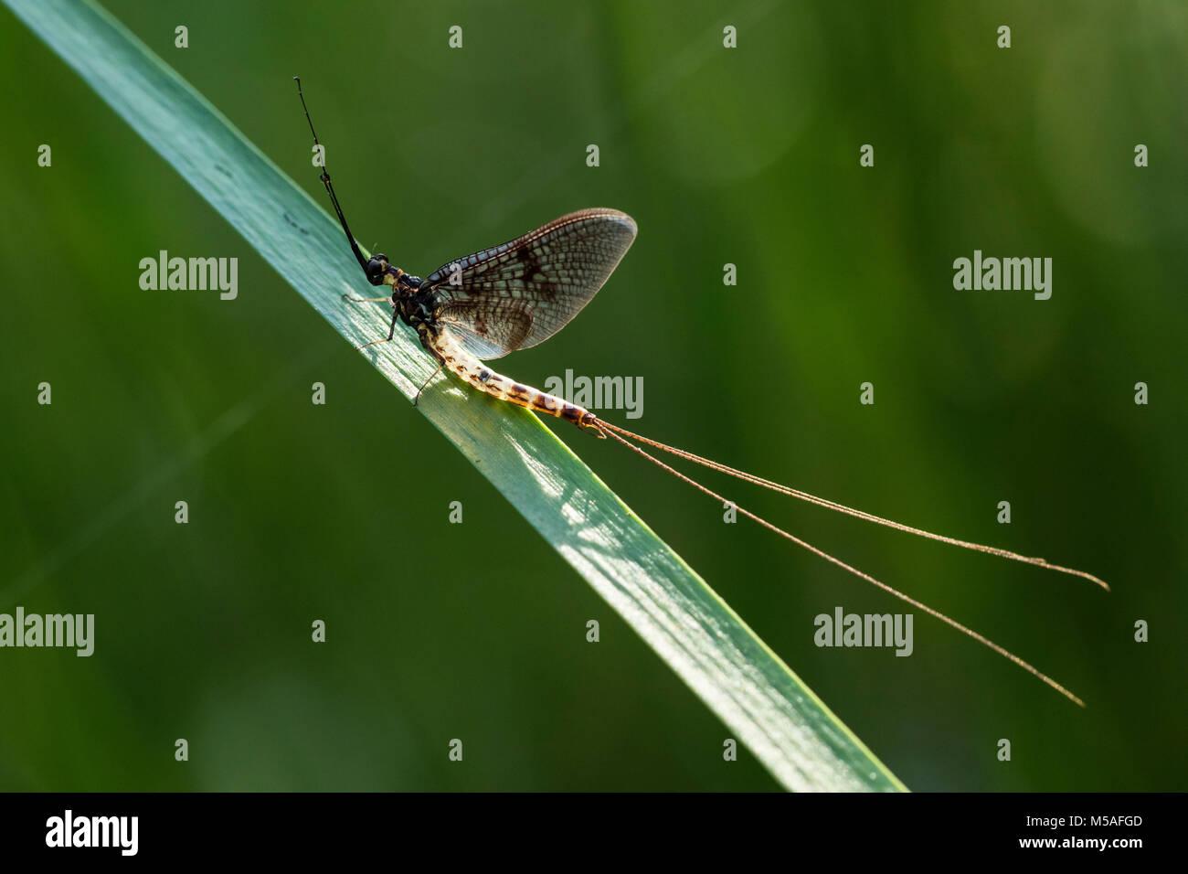 Mayfly (Ephemera danica), (Ephemeridae) - Stock Image