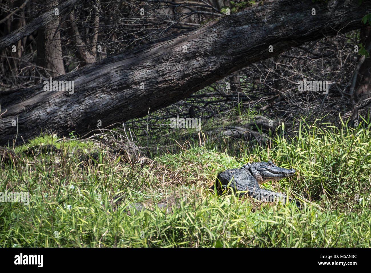 American alligator along the grassy riverbank of the St. Johns River in Central Florida near Blue Spring State Park. - Stock Image