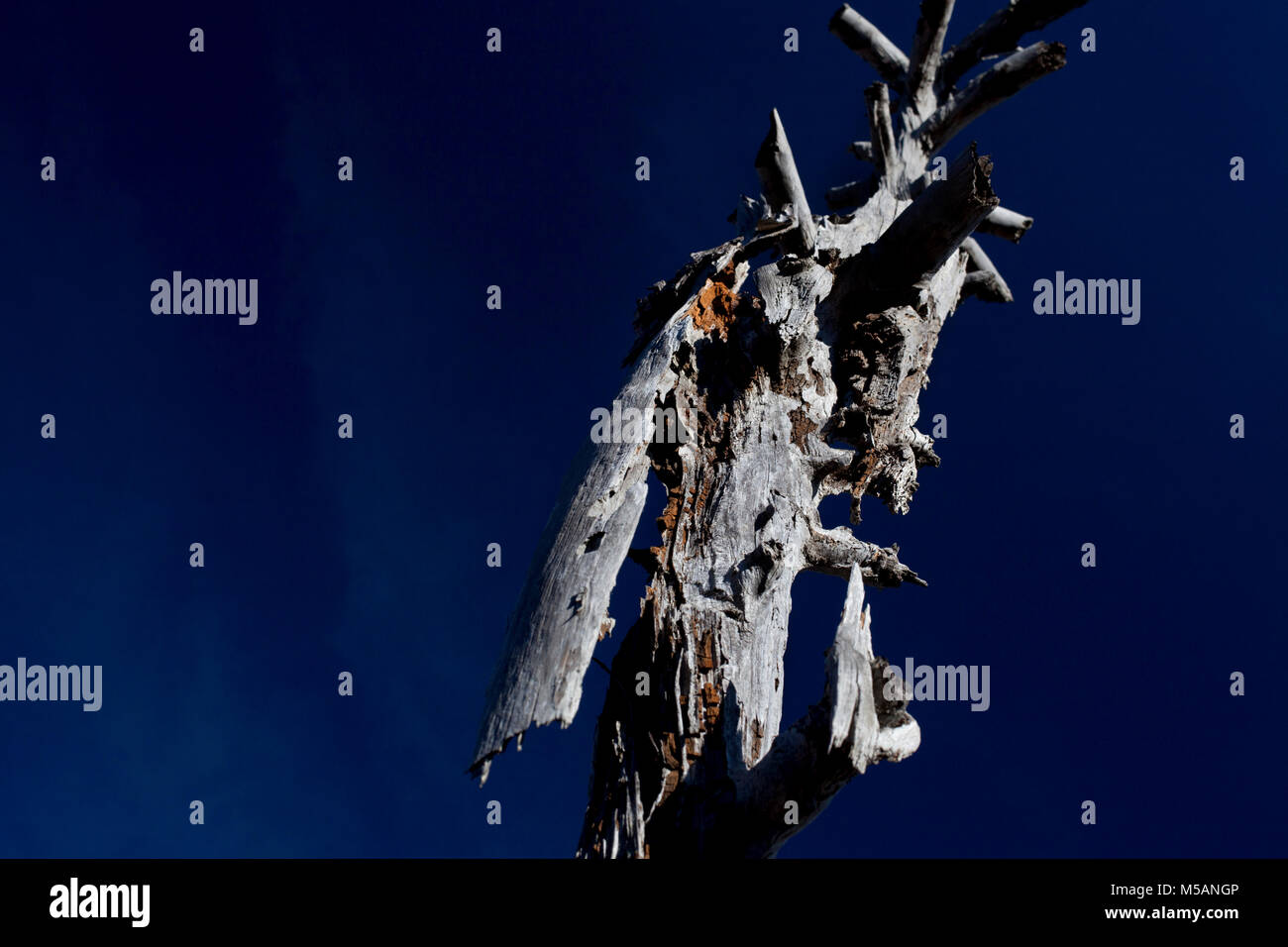 Wind and lightening battered pine tree, Parc dels ports, Tortosa, Spain. - Stock Image