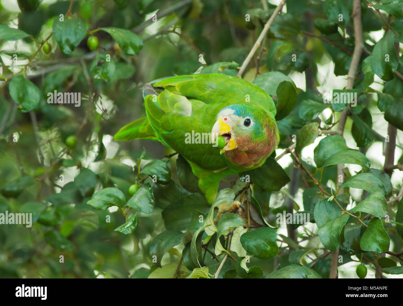 Yellow-billed Amazon Parrot (Amazona collaria)  Vulnerable, Endemic to Jamaica, wild Stock Photo