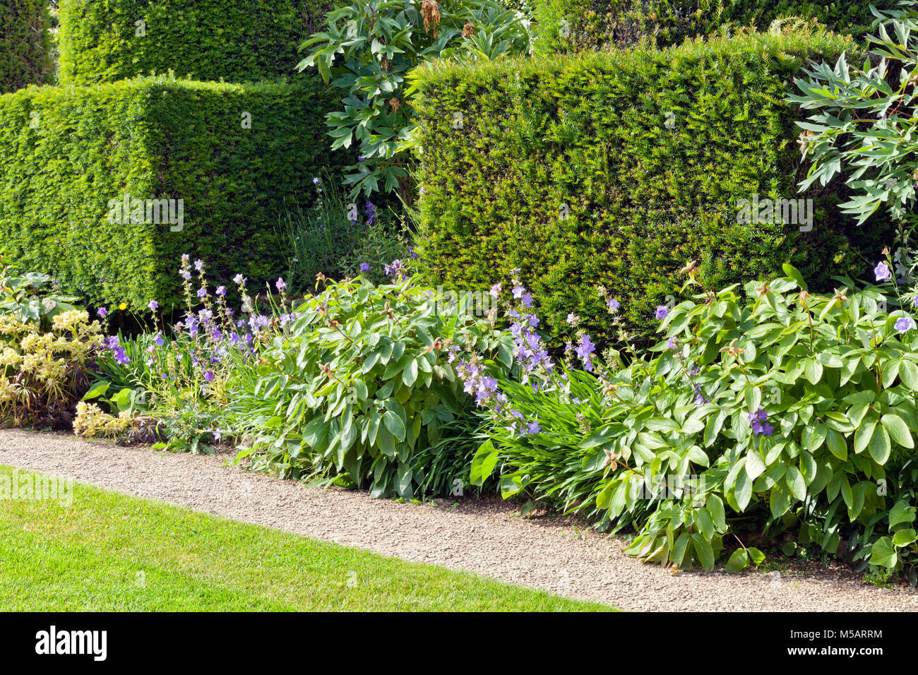 Trimmed yew hedge, flowering plants by a small stone path and lawn, in a summer English garden . - Stock Image