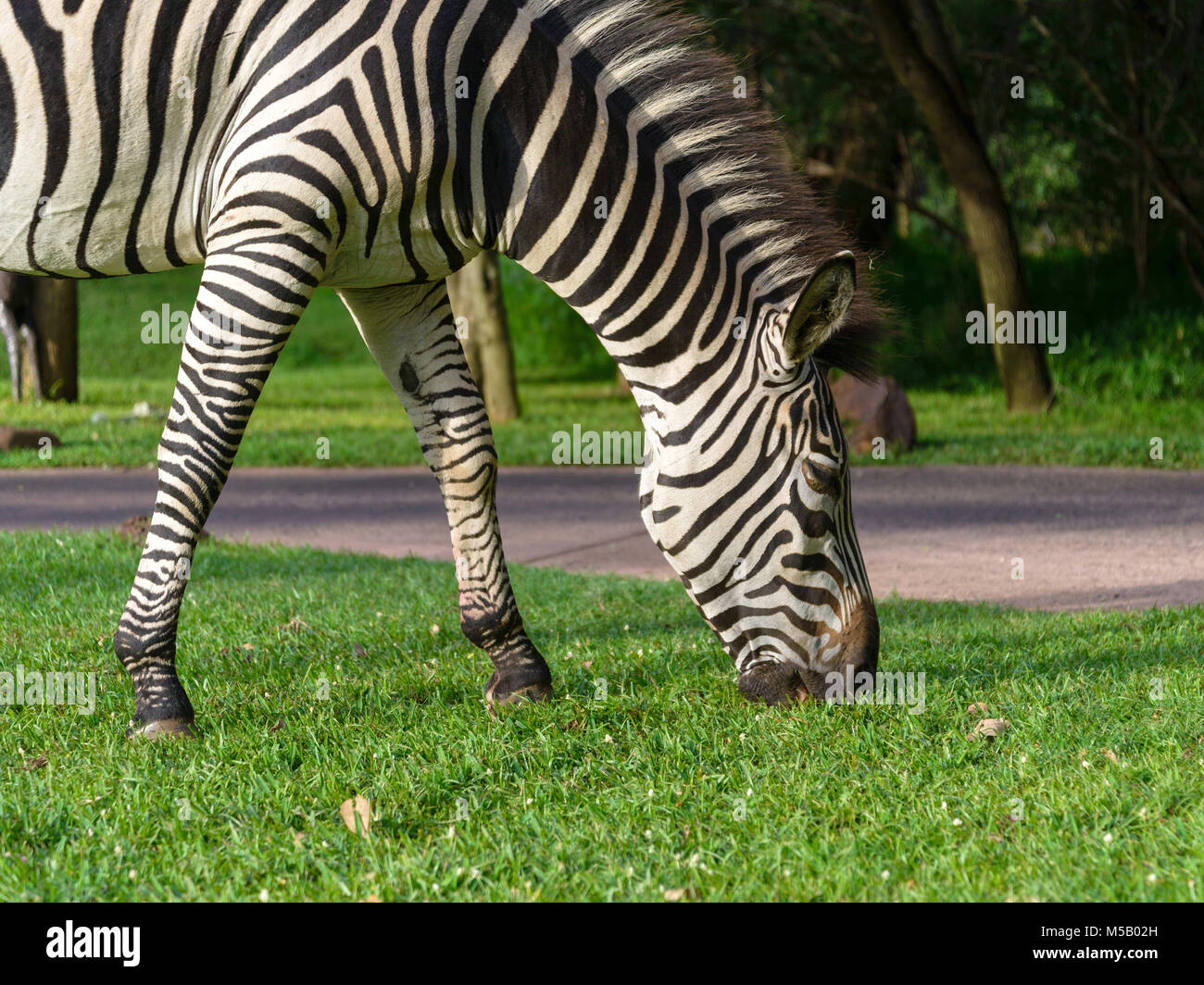 Wild African zebra in nature - Stock Image