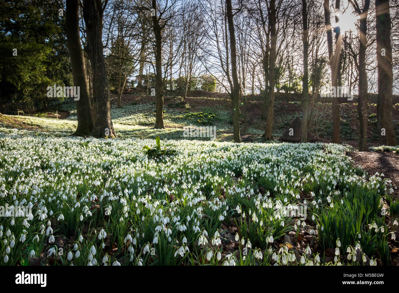 Carpets of Snowdrops, South West England. - Stock Image