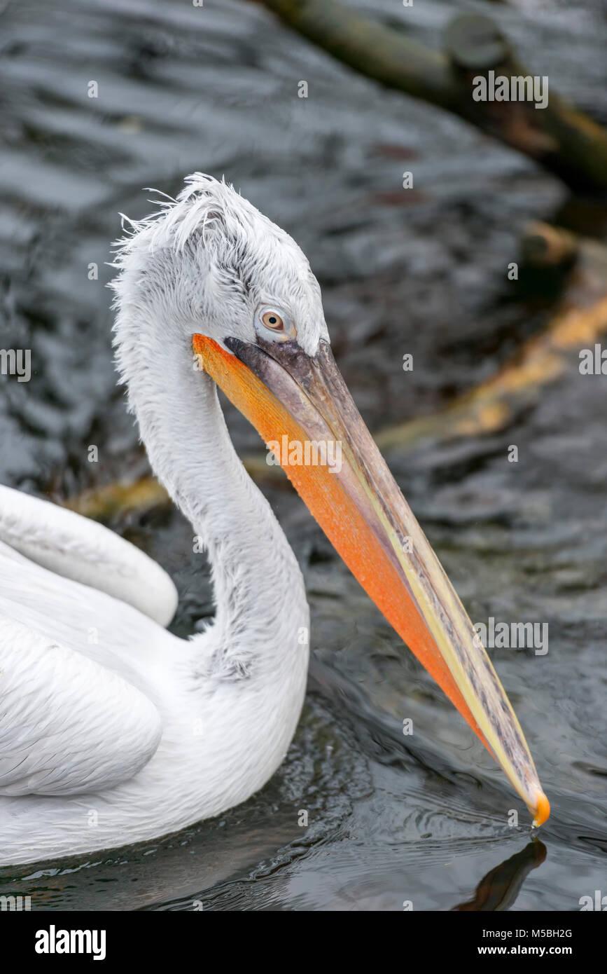 Dalmatian pelican - Stock Image