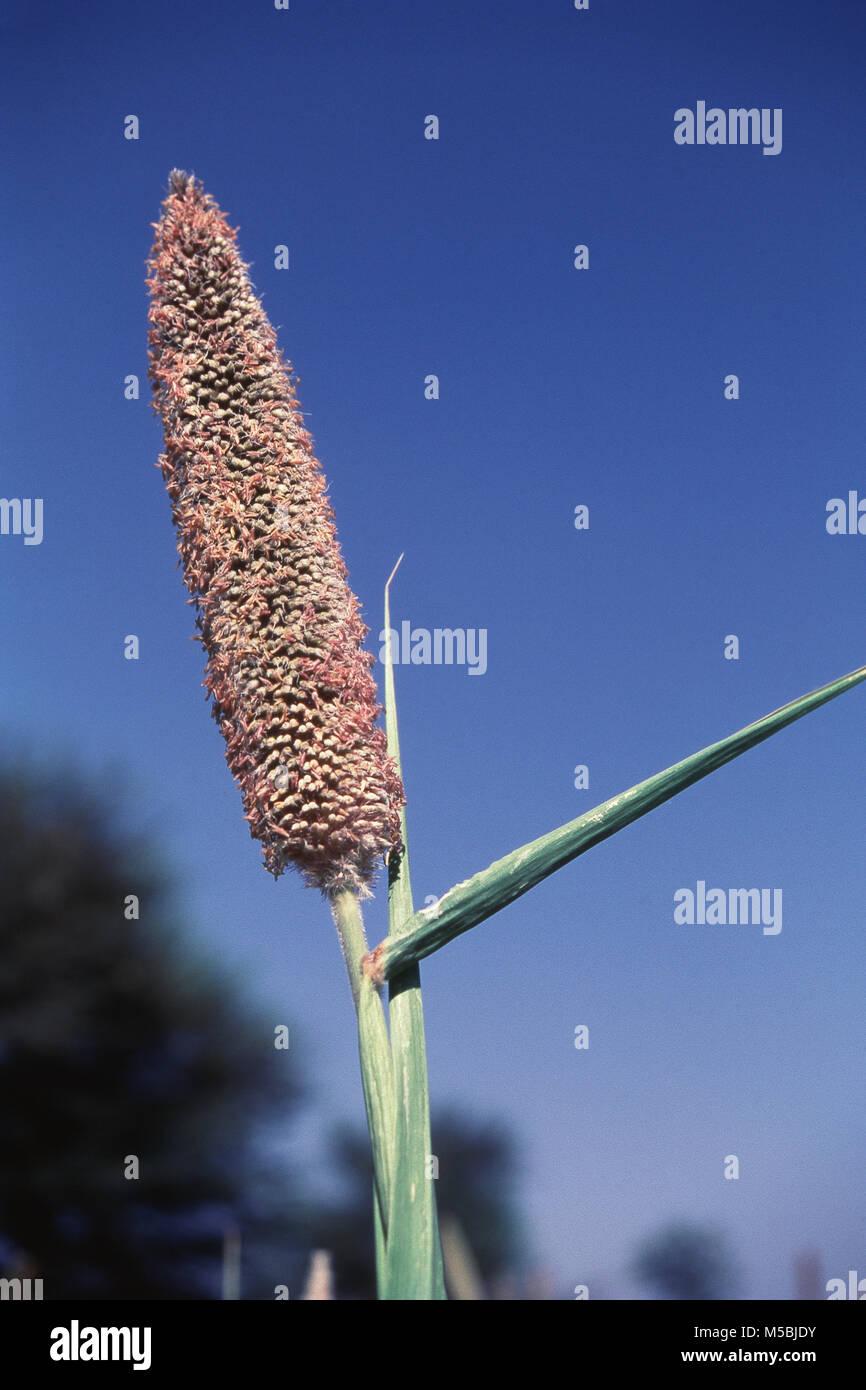 Close up of Bajra crop at Manchar, Maharashtra, India - Stock Image