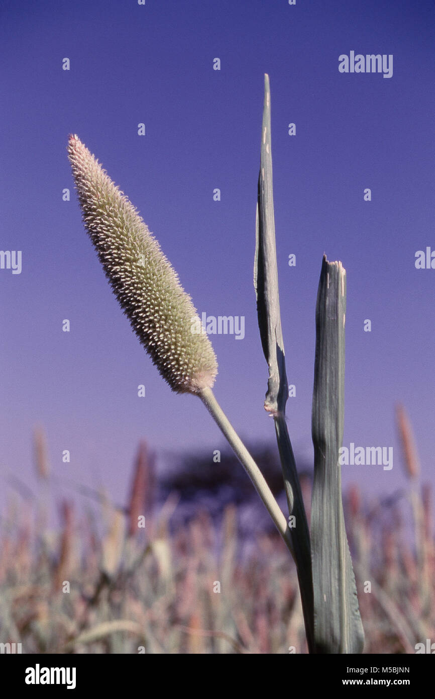 Close up of bajra crops, cereal grain Maharashtra, India - Stock Image